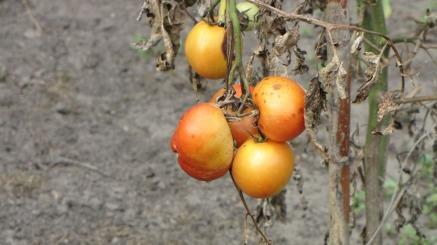 tomatoes-946377_960_720